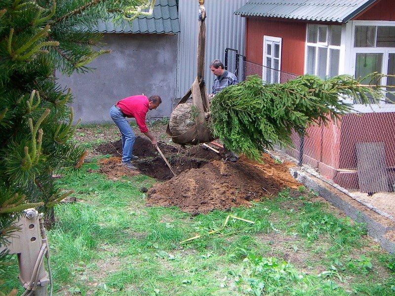 Как сажать ёлку осенью 65
