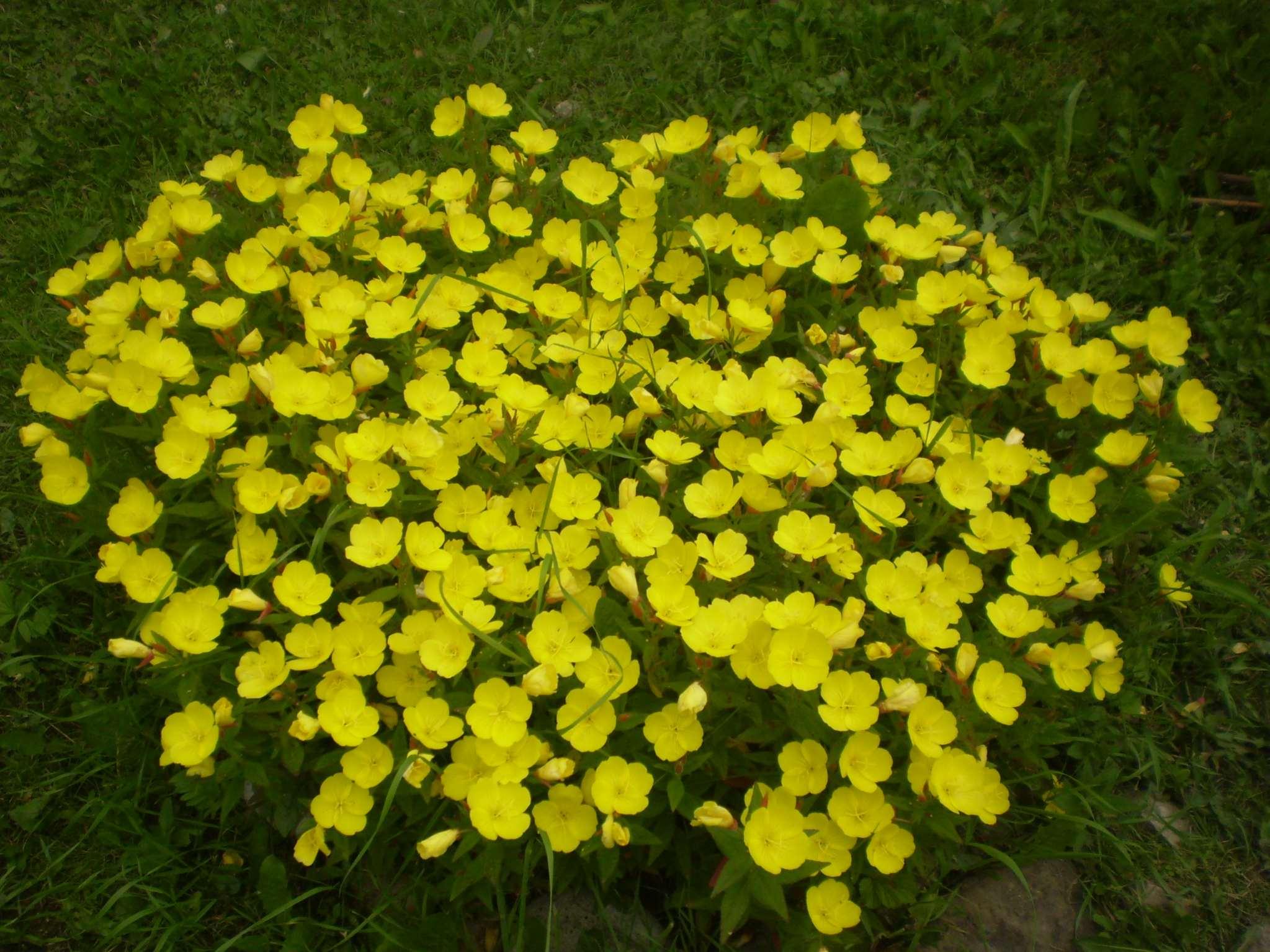 Многолетник с желтыми цветами название - Цветы на даче 33